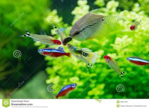 aquarium background paper exotic fish freshwater aquarium closeup guppy red neon pearl gourami