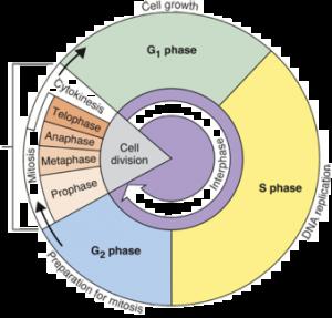 blank unit circle pdf cell cycle diagram