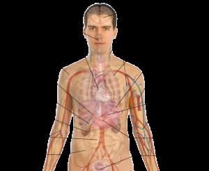 body organ diagram adult male diagram template