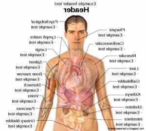body organ diagram organ diagram male body human organs diagram male human anatomy diagram