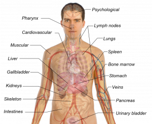 body organs diagram adult male diagram template