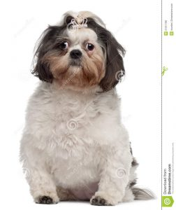 cut out crown shih tzu crown hair clip months old