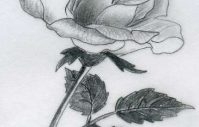 drawing of rose rose drawings