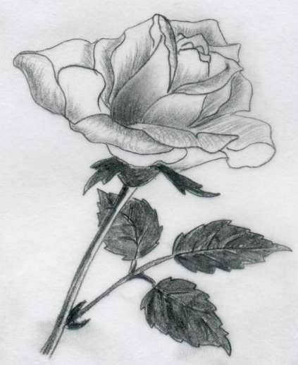drawing of rose