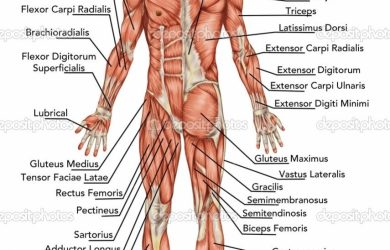 printable horse pictures labeling the muscles of the body muscles labeling full body full muscle diagram human body