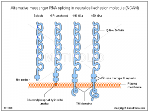 professional ppt templates alternative messenger rna splicing in neural cell adhesion molecule ncam