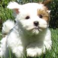 puppy bill of sale mal shi malshi puppy picture bfaebe ce cb bd