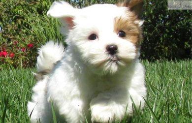 puppy bill of sale mal shi malshi puppy picture bfaebe ce cb bd