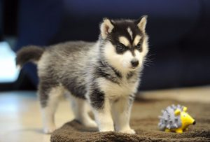 puppy bill of sale northern california pomskies review california pomsky breeder
