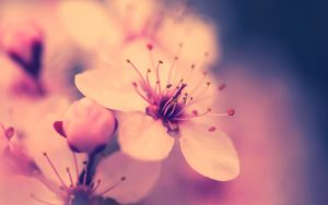 weddings backgrounds images cherry blossom flower hd wallpapers